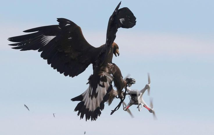 A golden eagle grabs a flying drone