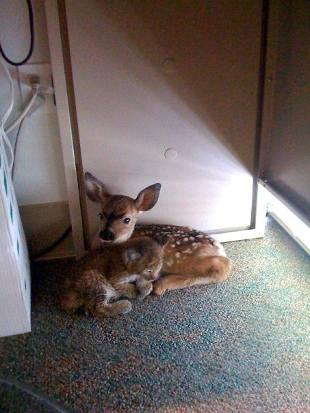 After a forest fire -these two snuggled up together in an office. Bobcat and fawn..