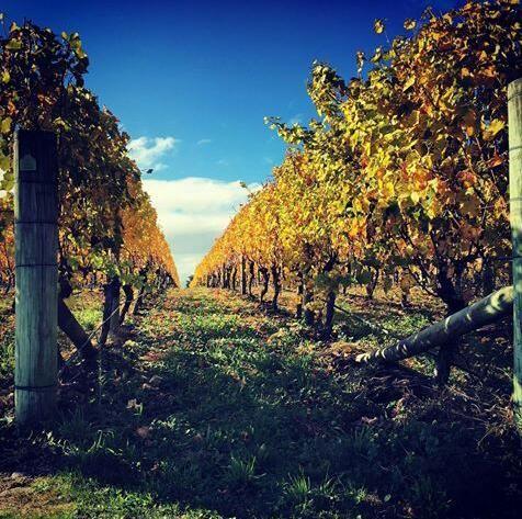 Autumn sunshine in the vineyard