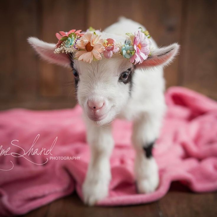 Who doesn't love a baby goat? Buttons~4 days new!