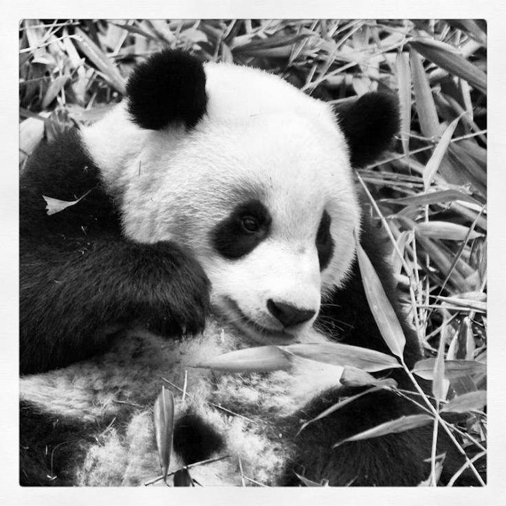 Giant Pandas, Chengdu, China