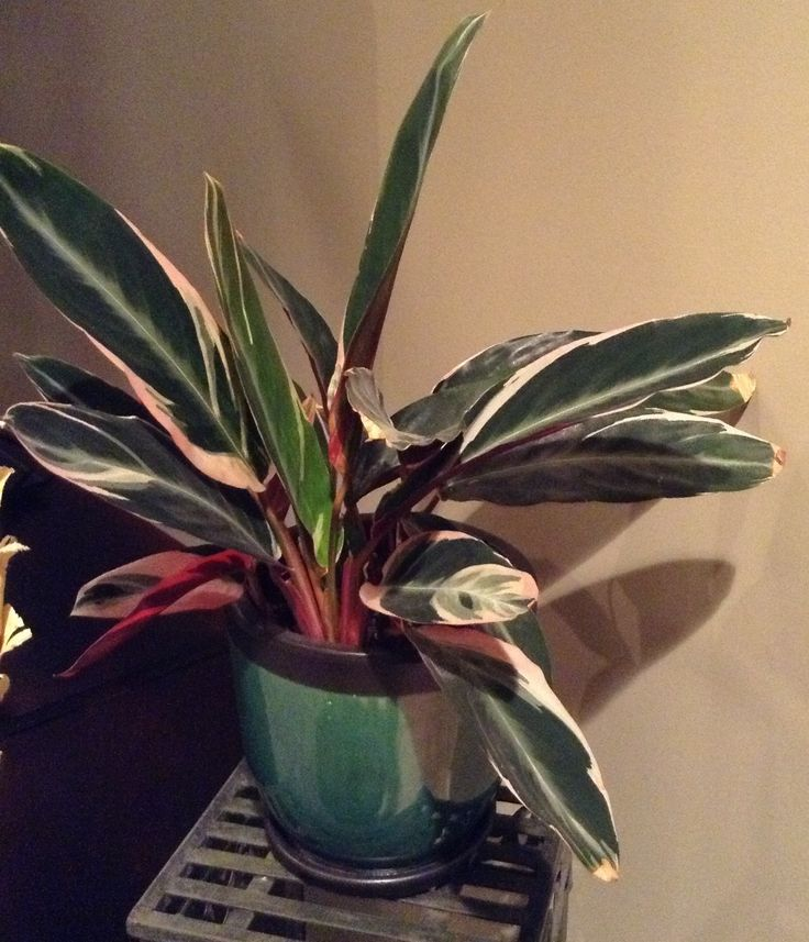 325 best images about house plants on pinterest for Prayer palm plant