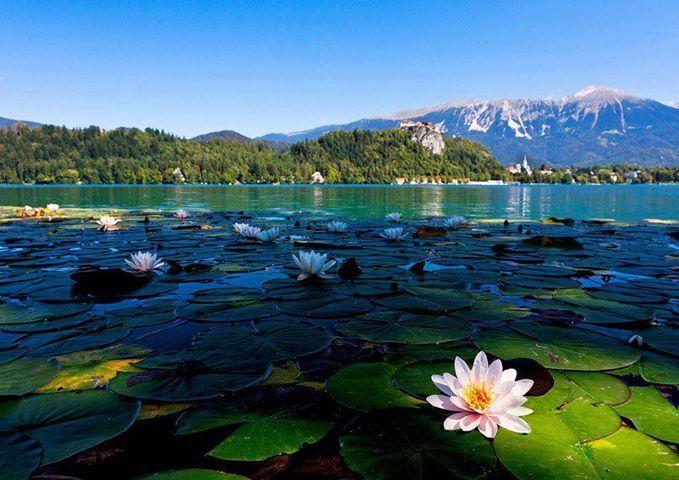 Fiore di loto - seguici su WellMe.it