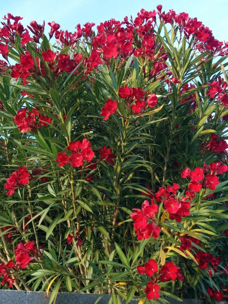 Red Oleander Oleander Plants Flora Flowers Landscaping