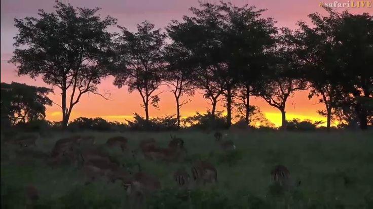 safariLIVE Impala Sunset