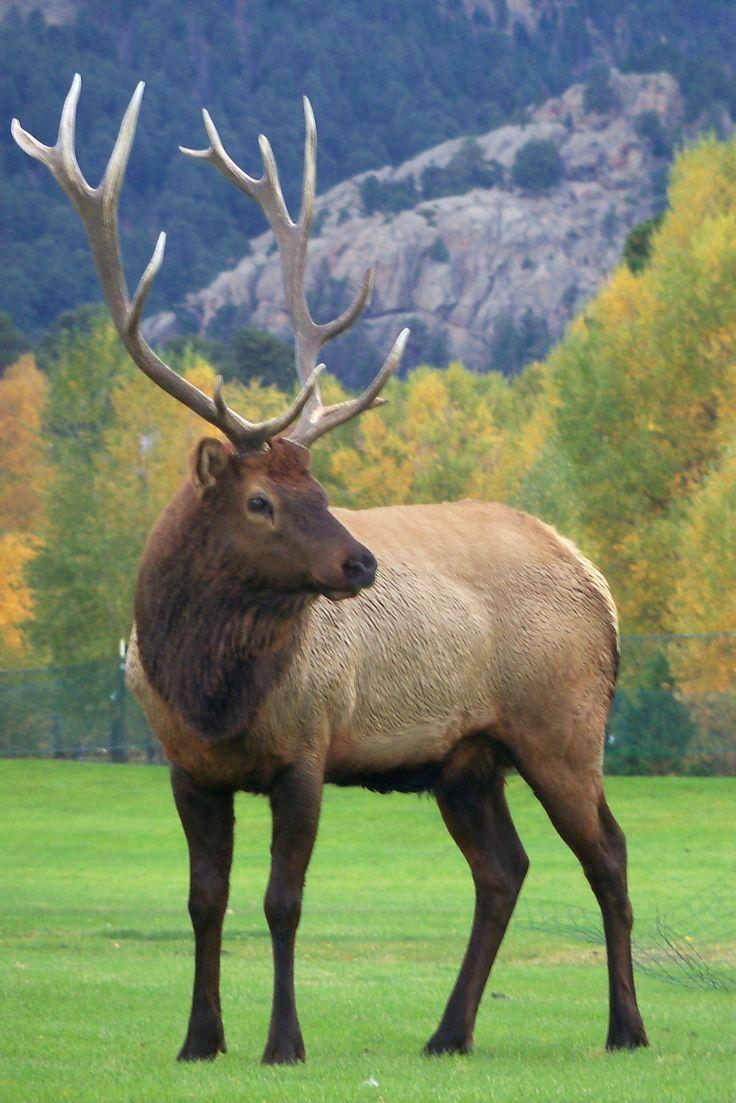Elk~ Estes Park 2011