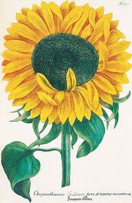 Chrysanthemum indicum flore et semine maximum. Chrysanthemum. Illustration from Johann Wilhelm Weinmann's 'Phytanthoza Iconographia' - Plate 371, Vol. 2. 1737-1745. © The Trustees of the Royal Botanic Gardens, Kew
