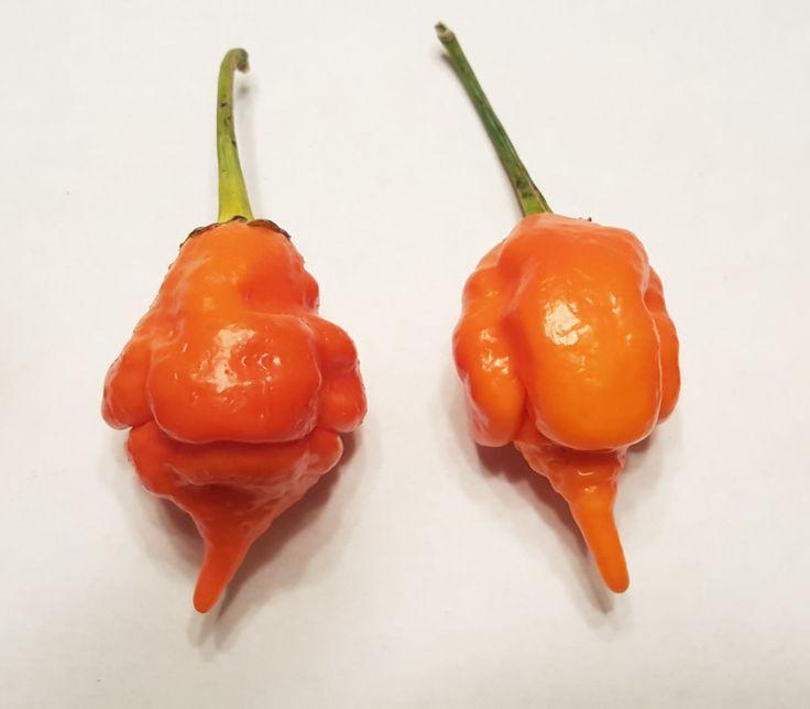Trade Winds Fruit - Orange Long Tailed Scorpion Pepper, $4.50 (http://www.tradewindsfruit.com/capsicum-chinense-orange-long-tailed-scorpion-pepper-seeds)