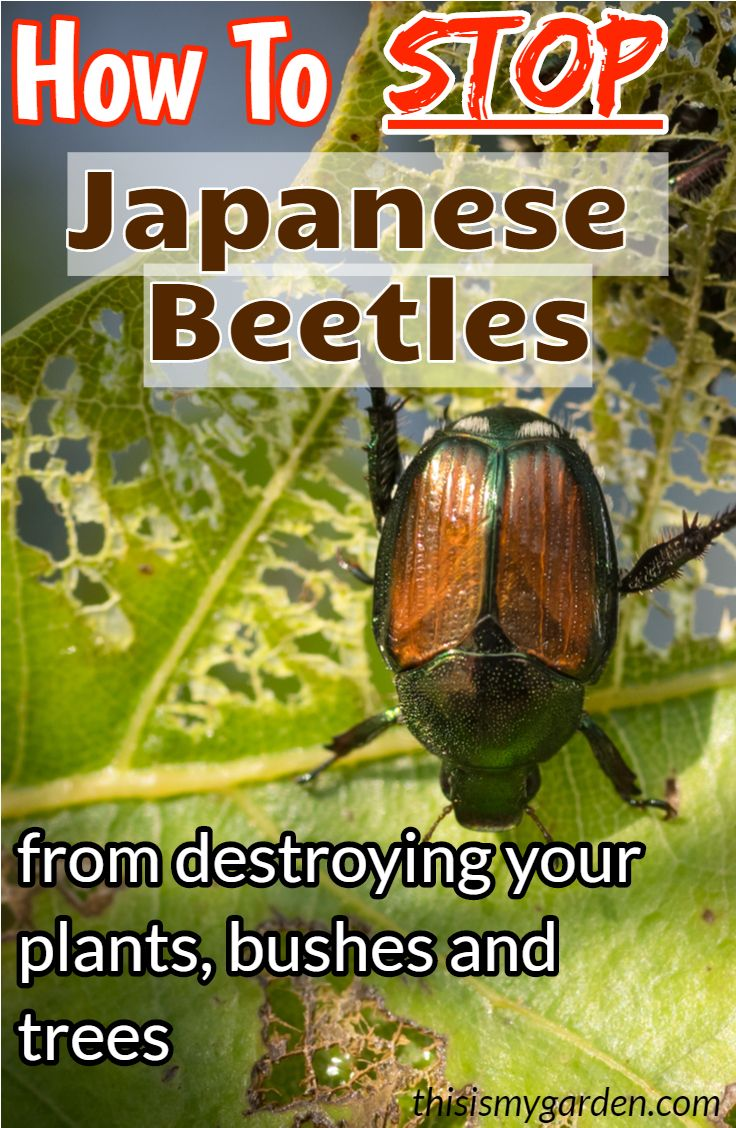 How To Stop Japanese Beetles From Destroying Your Plants Bushes Trees Japanese Beetles Japanese Beetles Repellant Japanese Beetle Control