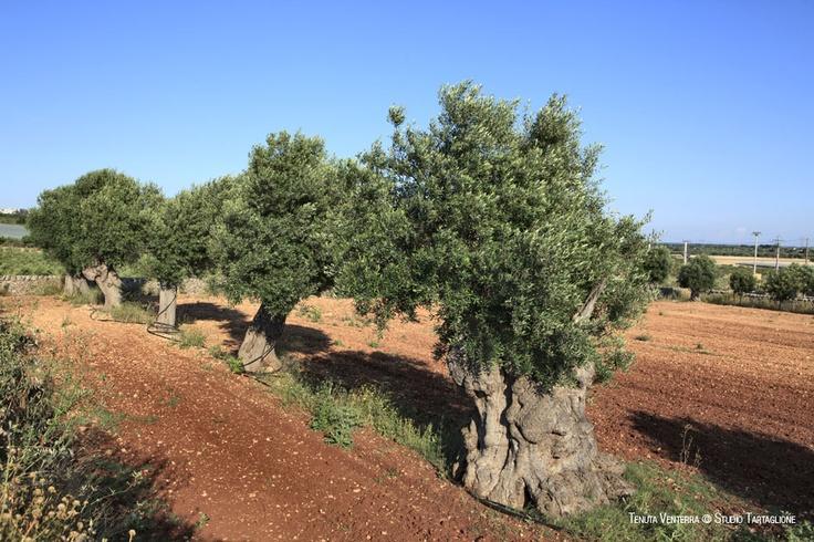 #VENTERRA. Il #caldo #vento #jonico scompiglia le #argentee #chiome degli #olivi