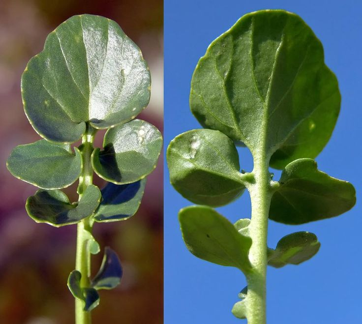 Sommargyllen, Barbarea vulgaris - Blomväxter - NatureGate