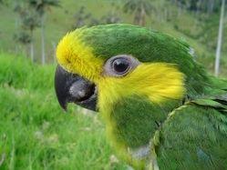 Yellow-eared Parrot - An Endangered Species