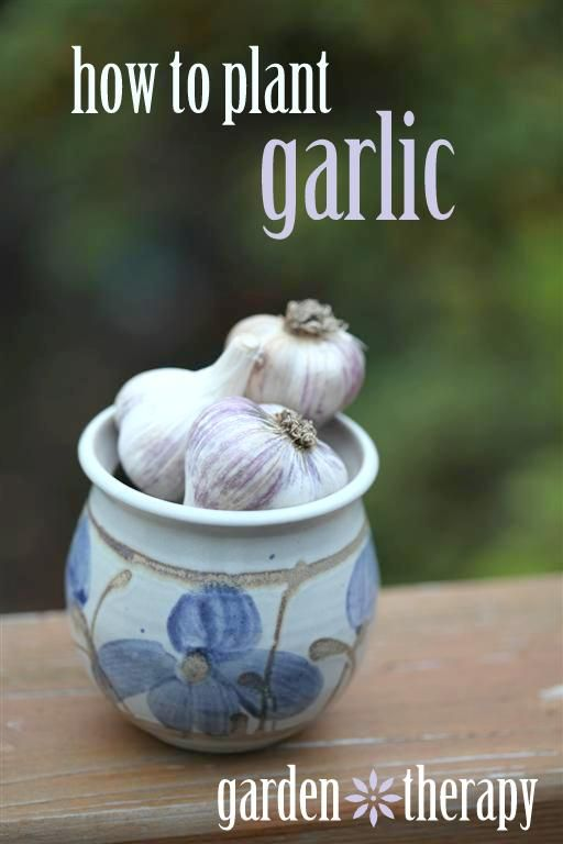 Protect your yard from Vampires...  Learn How to Plant Garlic