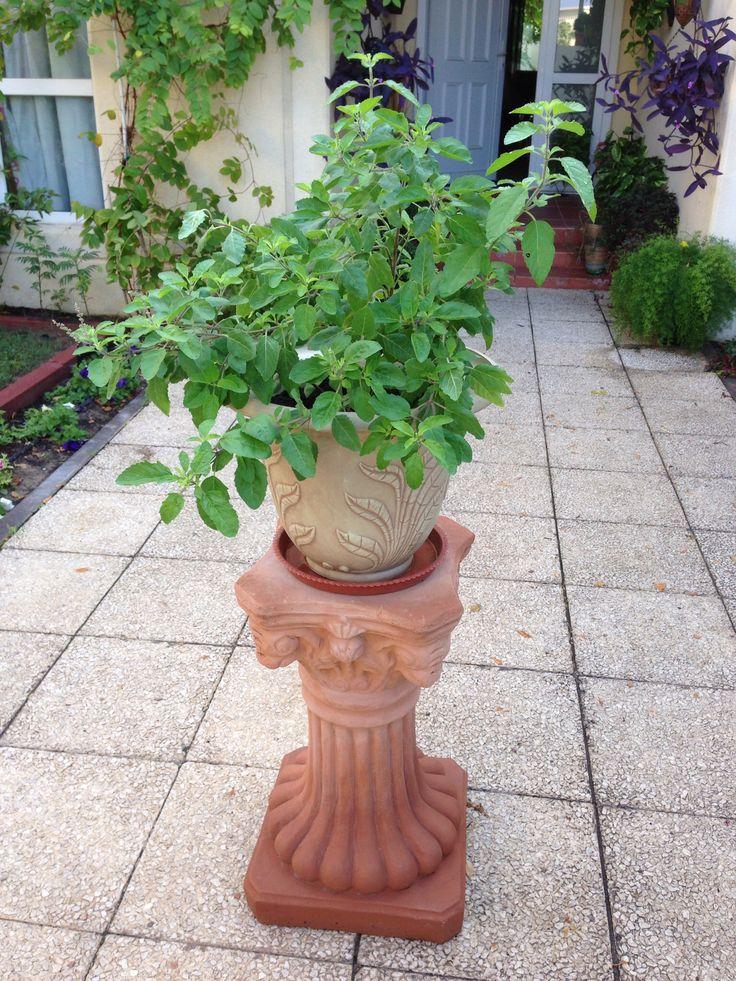 My Tulsi Plant Tulsi Plant Tulsi Pot Tulsi