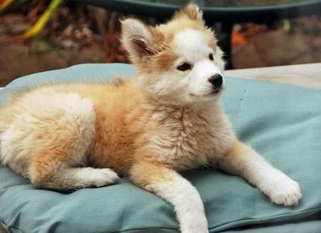 husky golden retriever mix | golden retriever husky mix. O. My Gosh. :D I WANT THIS DOG!!!!