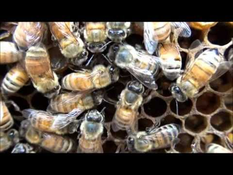 Bees doing the waggle dance- Harcourt Busy Buzzy Bee Story First grade