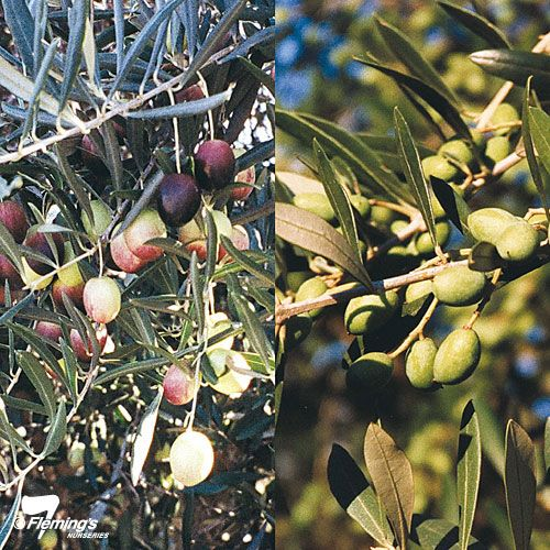 Olea - or Olive Trees are great for coastal conditions becuase they will grow just about anywhere.