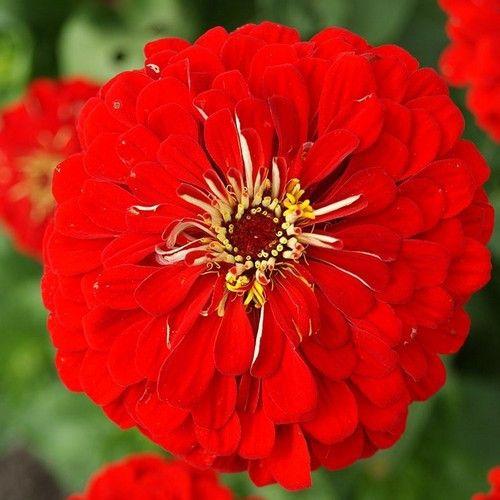 Zinnia Lilliput Red Flower Seeds (Zinnia Elegans Lilliput Red) 50+Seeds