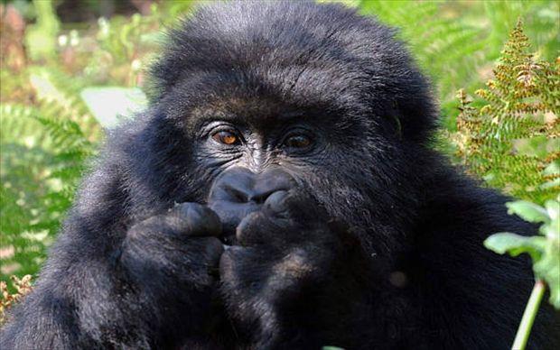 Africa: gorilla di montagna