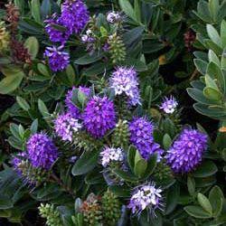 Hebe speciosa - Veronica purple 5L