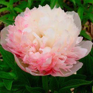 Mutabilis Plena Fragrant Peony - SO beautiful! Variety date back to 1907. I want a bunch!