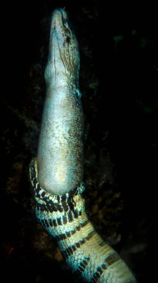 """""""Banded sea krait feeding on a moray eel. Banded Sea Kraits are the most venomous. Their poison is 15 times as strong as of a Cobra. They are friendly to divers and like even sometimes to play."""" (T.C.)"""