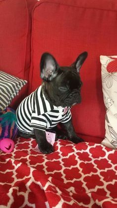 A frenchie wearing his stripes!!!