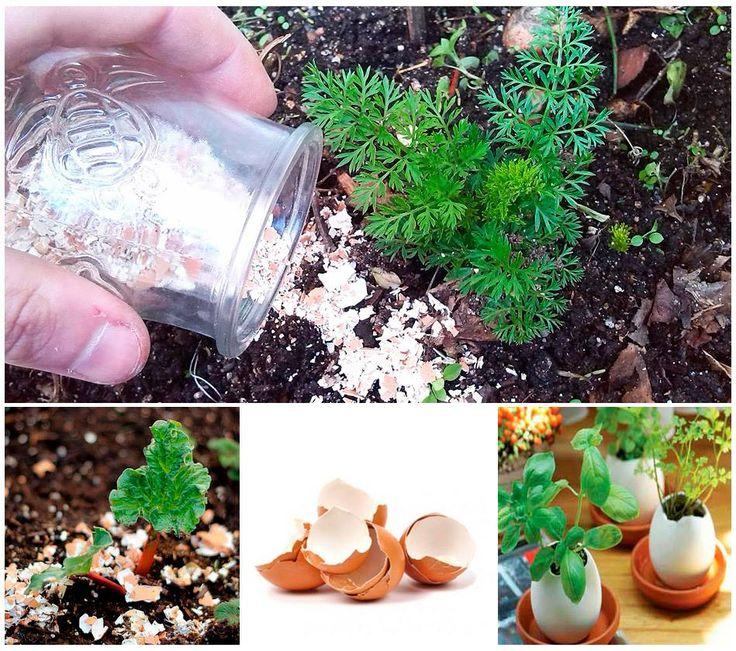 Entre los abonos orgánicos que podemos realizar en la huerta, tenemos este interesante método para saber como aportar calcio a las plantas con cascara de huevo, de una forma sencilla y eficaz.