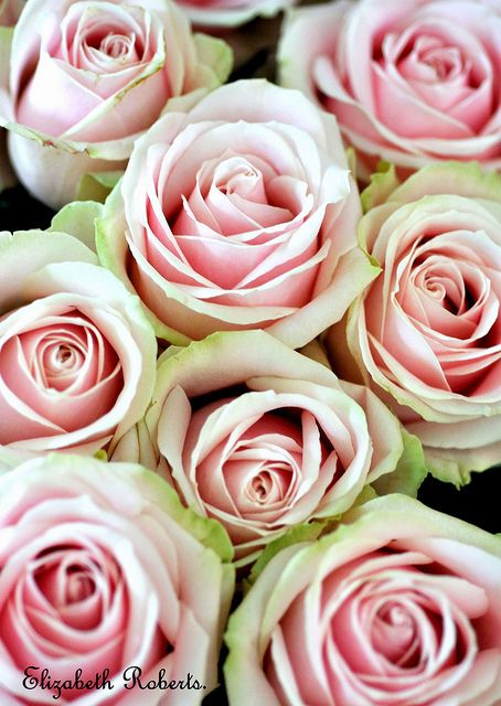 Sweet Avalanche Roses. by Elizabeth1148., via Flickr