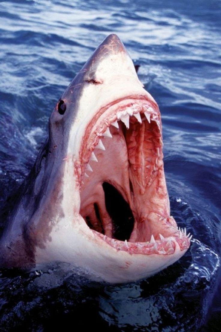Great white shark poster poster print item