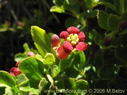 Imágen de Escallonia rubra (Siete camisas colorado / Ñipa / Yang- yang). Haga un clic para aumentar parte de imágen.