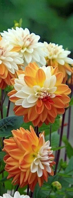 Orange Cream Dahlias