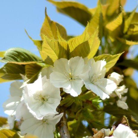 Prunus Tai Haku - Great White Cherry | Southern Woods