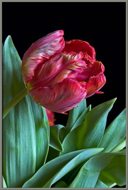 Parrot Tulips! You make cry..tears of joy!