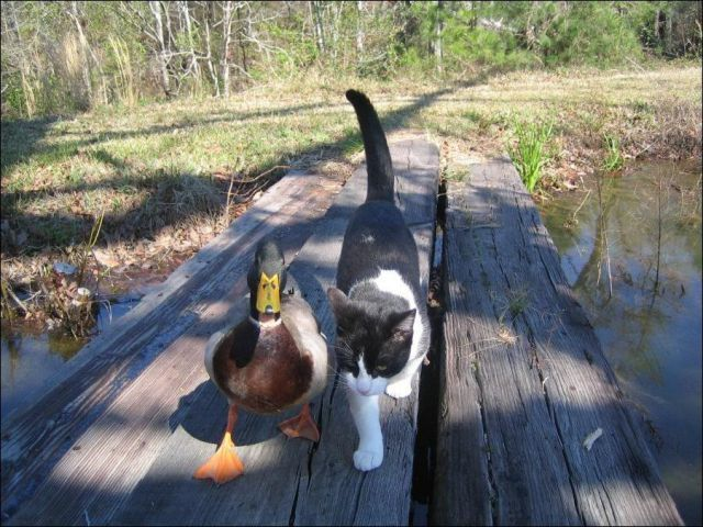 FriendsCatwalks, Cat Walks, Close Friends, Pets, Friendship, Ducks, Odd Couples, Funny Animal, Animal Photos