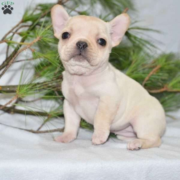 Jewel French Bulldog Puppy For Sale In Ohio Puppies Bulldog