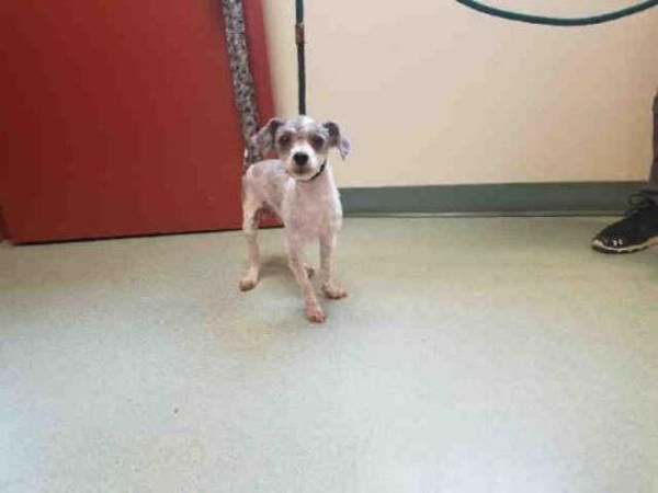 Poodle Dog For Adoption In Saint Cloud