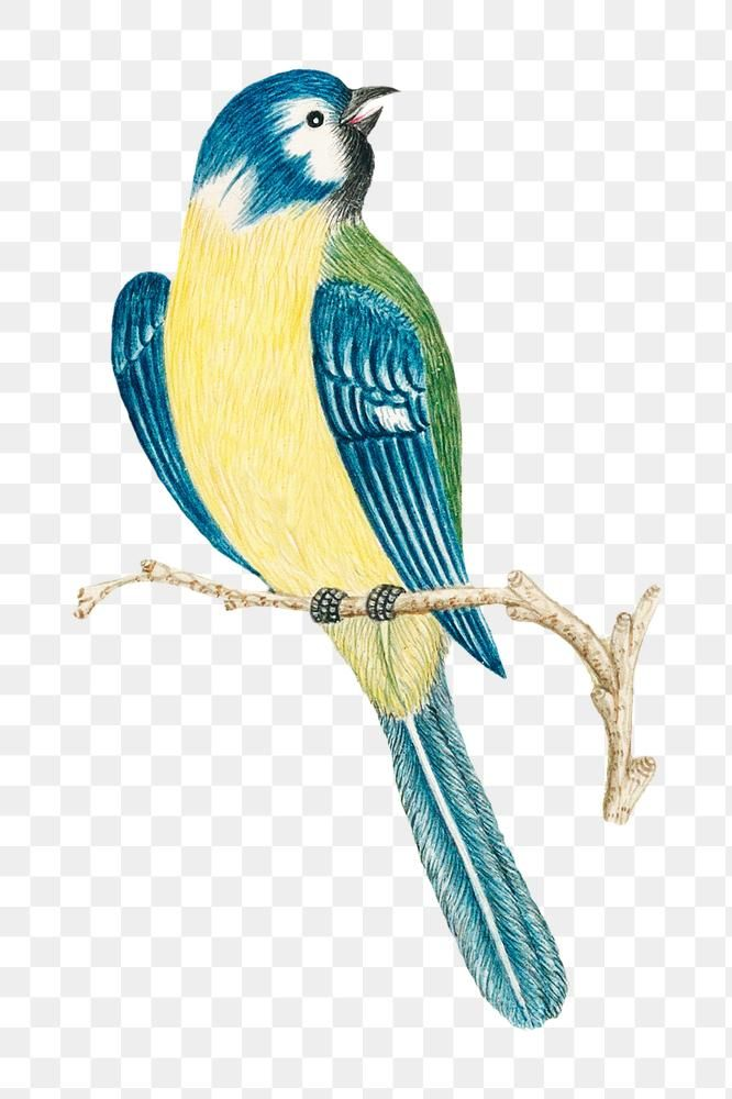 Vintage Bird Png Illustration Remixed From The 18th Century Artworks From The Smithsonian Archive Free Image By Rawpixel Co Vintage Birds Bird Illustration