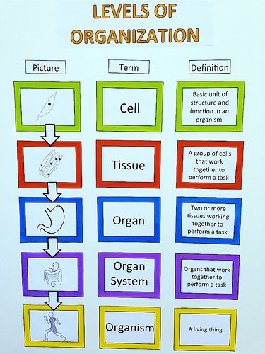 Levels of organization for our human anatomy unit ...