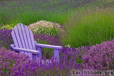Love me some lavender.: Vintage Chairs, Adirondack Chairs, Mediterranean Gardens, Lavender Fields, Reading Nooks, Good Book, Places, Decks Chairs, Purple Flower