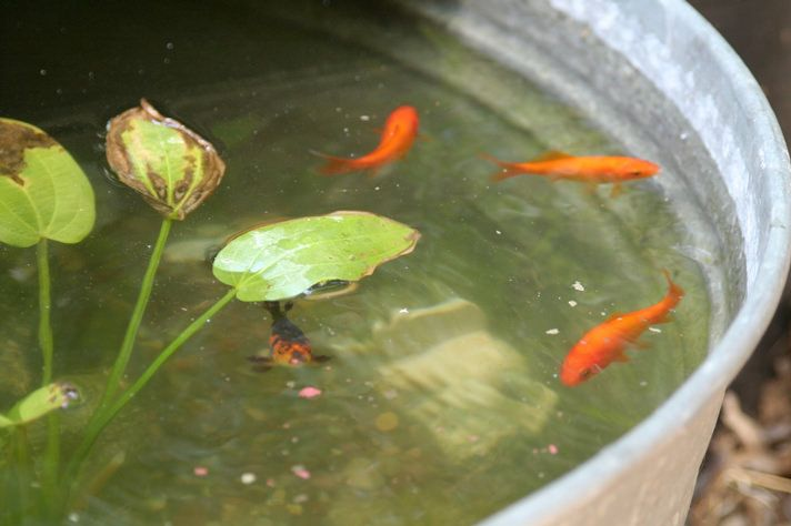 Goldfish can live in a half barrel container pond as long for Plastic garden fish ponds