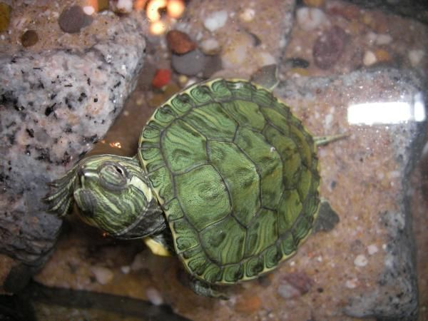 Especies de tortugas de agua dulce - ExpertoAnimal