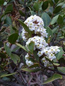 Acokanthera Oppositifolia Common Poison-bush Gewone Gifboom S A no 639