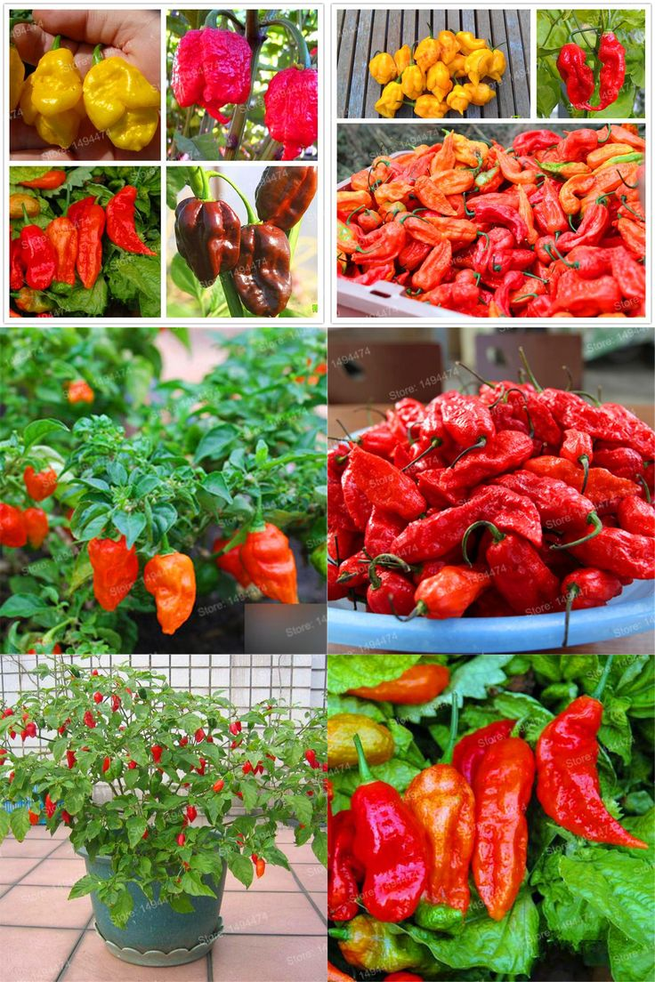 [Visit to Buy] 200pcs Chili seeds Ghost Pepper seeds The World's Most Spicy Chili Pepper Seeds  Indian Devil Cayenne pepper Spiciness Reaches #Advertisement