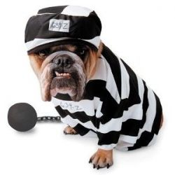 Big Dogs in Halloween Costume and Dogs On Parade, costumes for bulldogs,