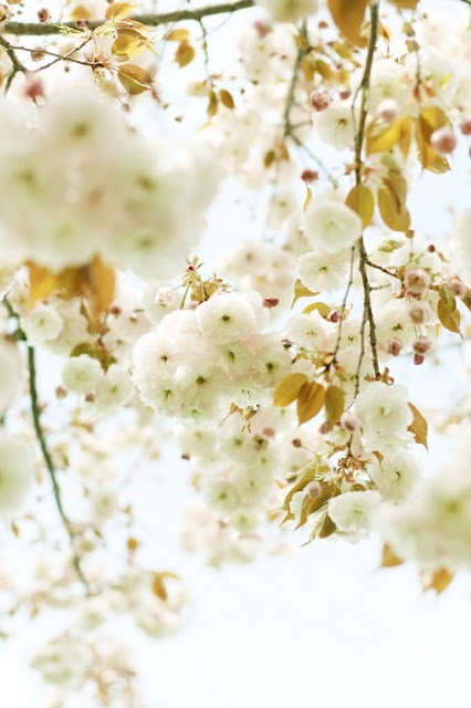 Pretty White blossoms: Spring Blossom, White Flowers, Inspiration, Colors, Yellow, Flowers, Blossoms, Honey