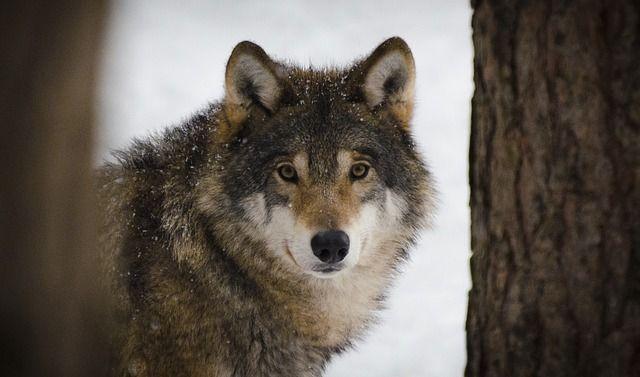 Free photo: Wolf, Predators, Wildlife, Winter - Free Image on Pixabay - 2106894