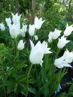 Trädgård och lite annat: Liljeblommande tulpaner