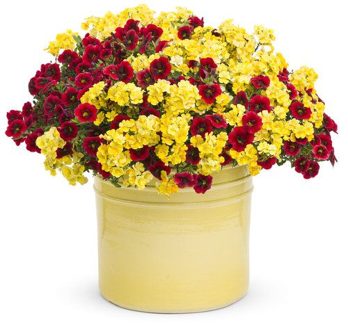 Bit O'Honey | Proven Winners: Coming to our Garden Center this Fall. http://superiorlandscape.net/