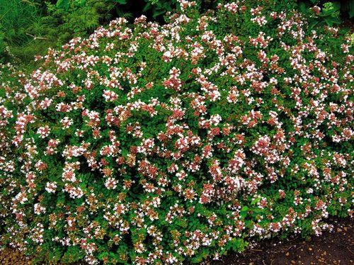 Rose Creek Abelia Semi Evergreen In Some Winters But